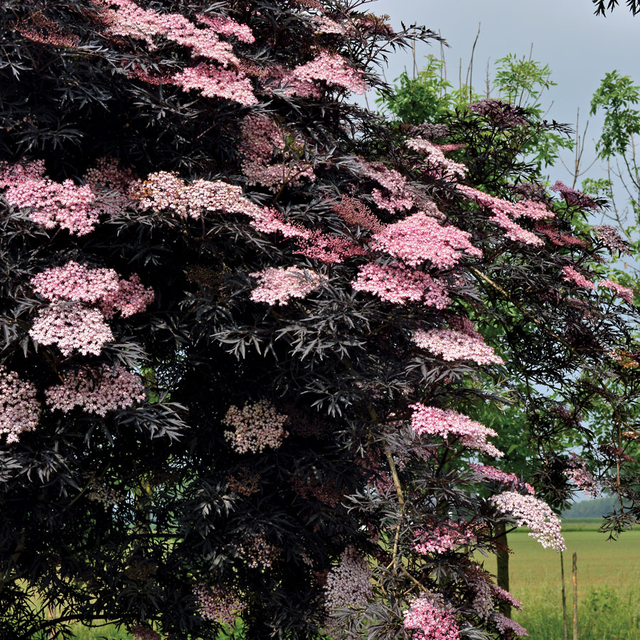 Vrtnarstvo Breskvar - Sambucus Black Lace