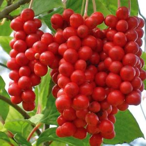 Vrtnarstvo Breskvar - Schisandra Chinensis