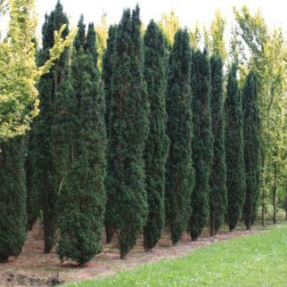 Vrtnartsvo Breskvar - živa meja Taxus Baccata Fastigiata Robusta