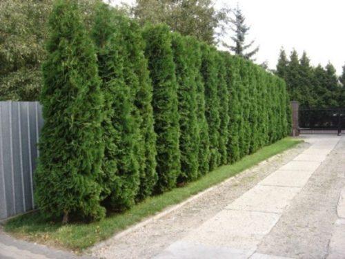 Vrtnartsvo Breskvar - živa meja Thuja Occidentalis Smaragd