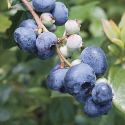 Vrtnarstvo Breskvar - Vaccinium Corymbosum Blue Gold