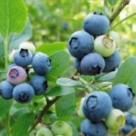 Vrtnarstvo Breskvar - Vaccinium Corymbosum Brigitta Blue