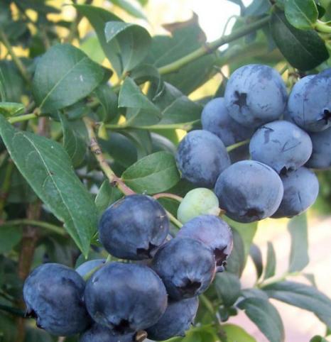 Vaccinium Corymbosum- Vrtnarstvo Breskvar
