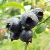 Vrtnarstvo Breskvar - Vaccinium Corymbosum Weymouth