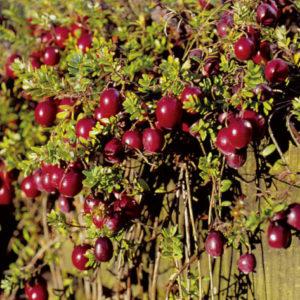 Vrtnarstvo Breskvar - Vaccinium Macrocarpon Red Star