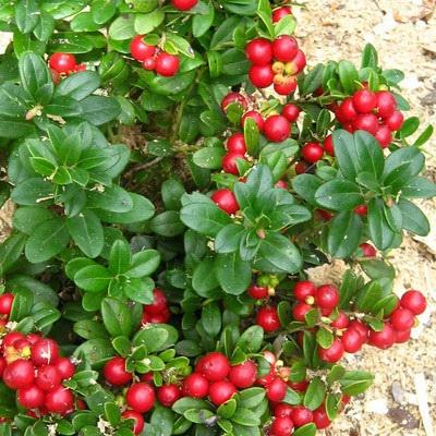 Vrtnarstvo Breskvar - Vaccinium Vitis Idaea Red Pearl