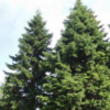 Abies numidica - Vrtnarstvo Breskvar