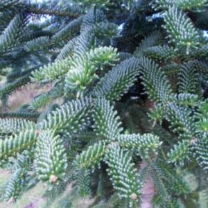 Abies numidica detajl - Vrtnarstvo Breskvar