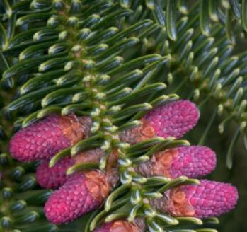 Abies numidica storž - Vrtnarstvo Breskvar