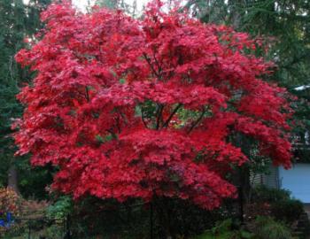 Acer palmatum Bloodgood- Vrtnarstvo Breskvar