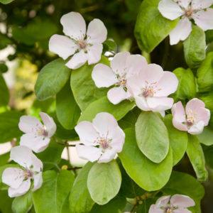 Vrtnarstvo Breskvar - Cydonia oblonga 'Champion'
