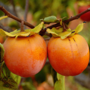 Diospyros kaki 'Vaniglia' - Vrtnarstvo Breskvar