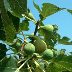 Ficus carica Laščica- Vrtnarstvo Breskvar