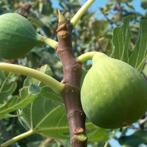 Ficus carica Zelenka - Vrtnarstvo Breskvar