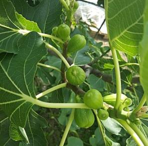 Ficus carica Istrska Belica - Vrtnarstvo Breskvar