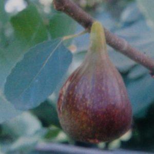 Ficus carica Istrska črnica - Vrtnarstvo Breskvar