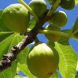 Ficus Carica Zuccherina - Vrtnarstvo Breskvar