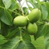 Juglans reiga 'Adams' - Vrtnarstvo Breskvar