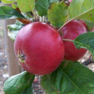 Malus domestica 'Red Devil' - Vrtnarstvo Breskvar