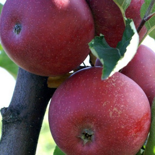Malus domestica 'Stayman Red' - Vrtnarstvo Breskvar