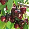 Prunus Avium 'Compact Stella' - Vrtnarstvo Breskvar