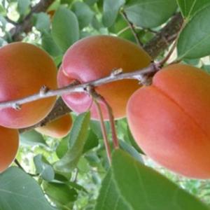 Prunus armeniaca 'Aurora' - Vrtnarstvo Breskvar