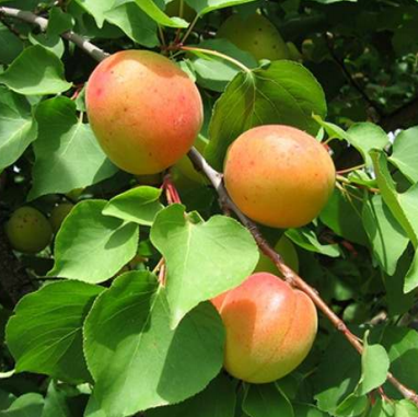 Prunus armeniaca 'Pisana' - Vrtnarstvo Breskvar