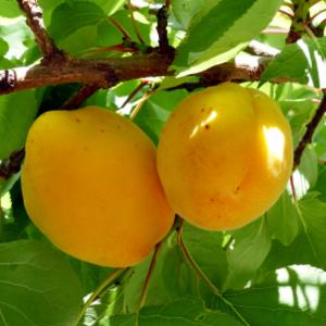 Prunus armeniaca 'San Francisco' (simbolična slika) - Vrtnarstvo Breskvar