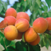 Prunus armeniaca 'Corona' (simbolno) - Vrtnarstvo Breskvar