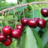 Prunus avium 'Early Korvik' - Vrtnarstvo Breskvar
