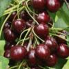 Prunus avium 'Germersdorf'- Vrtnarstvo Breskvar