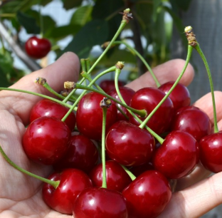 Prunus avium 'Jachim' - Vrtnarstvo Breskvar