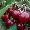 Prunus avium 'Lapins' - Vrtnarstvo Breskvar