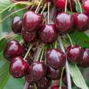 Prunus avium 'Stella' - Vrtnarstvo Breskvar