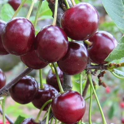 Prunus cerasus 'Piramis' (Meggy) - Vrtnarstvo Breskvar