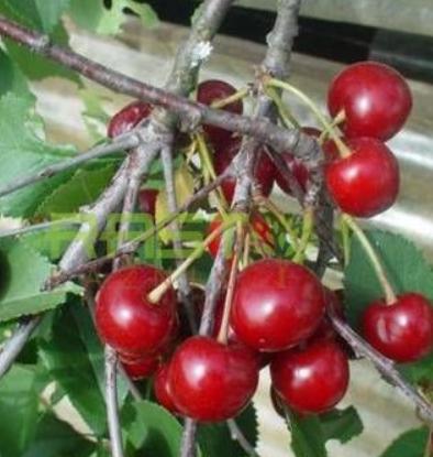 Prunus cerasus Šumadinka - Vrtnarstvo Breskvar