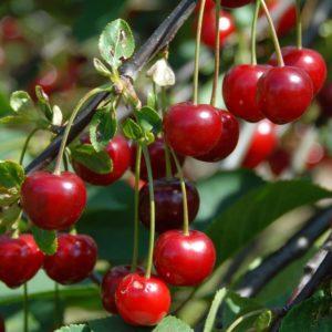 Prunus cerasus Grofova - Vrtnarstvo Breskvar