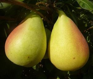 Prunus communis Coscia - Vrtnarstvo Breskvar