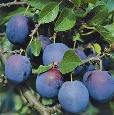 Prunus domestica 'Ersinger' - Vrtnarstvo Breskvar