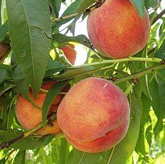 Prunus persica 'Redhaven' - Vrtnarstvo Breskvar