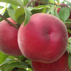 Prunus persica 'Springbell' - Vrtnarstvo Breskvar