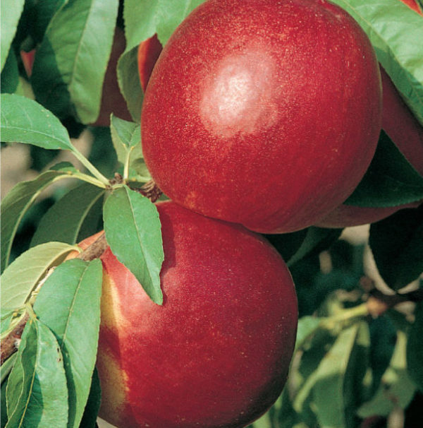 Prunus persica nucipersica 'Maria Laura' - Vrtnarstvo Breskvar
