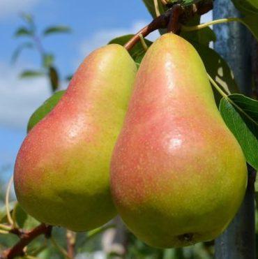 Vrtnarstvo Breskvar - Pyrus communis Harrow Sweet
