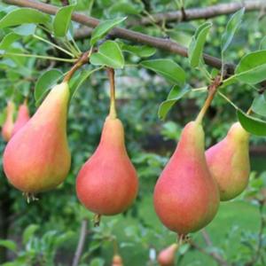 Pyrus communis 'Junijska lepotica' - Vrtnarstvo Breskvar