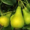 Pyrus communis 'Dolgorepka' - Vrtnarstvo Breskvar