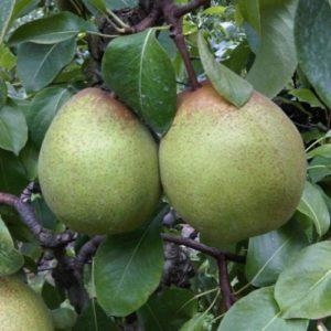 Pyrus communis 'Krasanka' - Vrtnarstvo Breskvar