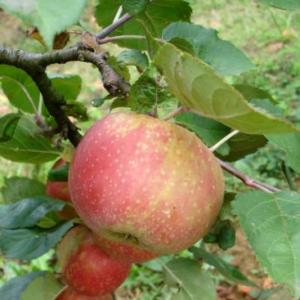 Malus Domestica Rdeči boskop - Vrtnarstvo Breskvar