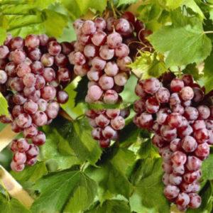 Vitis labrusca 'Spulga' - Vrtnarstvo Breskvar