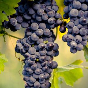Vitis vinifera 'Muscat blue' - Vrtnarstvo Breskvar