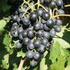Vitis vinifera 'New York Muscat' - Vrtnarstvo Breskvar